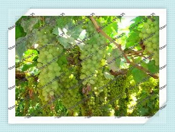 50pcs-sac-de-graines-de-raisin-bonsai-fruits-pepins-de-raisin-noir-raisins-nain-arbre-poussent-facil