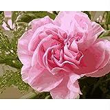 HLLCY Rosa Gartennelken Blumen Malen nach Zahlen Hand malen Acrylbild Färbung nach Zahlen auf Leinwand Geschenk für Mutter 40X50Cm kein Rahmen