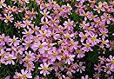 Shoppy Star: 30 Samen: Coreopsis rosea Seeds - PINK THREADLEAF tickseed, AMERICAN DREAM (30 Samen)