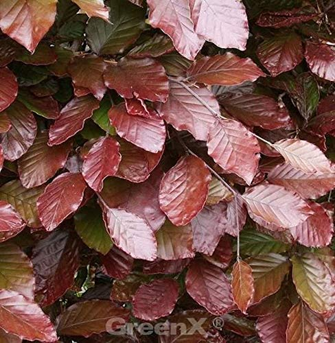 Blut Buche Atropunicea 40-60cm – Fagus sylvatica
