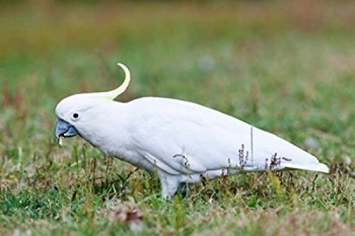 sulfur-crested-cockatoo-bird-australia-poster-print-by-martin-zwick-29-x-19-by-posterazzi
