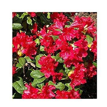Shop Meeko Rhododendron 'Baden-Baden' Hybrid 15cm Topf Größe