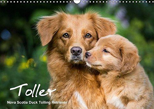 Toller - Nova Scotia Duck Tolling Retriever (Wandkalender 2017 DIN A3 quer): Ein Kalender mit 13 wunderschöne Fotos von Novia Scotia Duck Tolling ... (Monatskalender, 14 Seiten ) (CALVENDO Tiere) (Nova Scotia Duck Tolling Retriever)