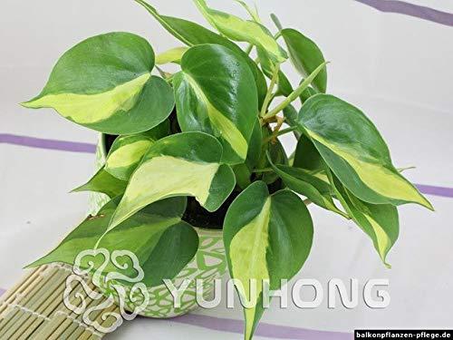 Bloom Green Co. 100% d'origine 100pcs rares 10kinds Mix Philodendron Bonsai, Feuille de Vigne, Les Plantes D'Intã©Rieur Anti rayonnement Absorber Arbre PoussiãšRe Bonsai: 12