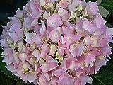 Bauernhortensie Endless Summer - Ballhortensie - Hydrangea macrophylla Endless Summer - besonders lange Blütephase