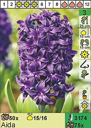 "Hyazinthe – Hyacinthus orientalis"" Aida"" (3)"