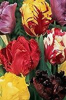Le paquet contient 100 bulbes de la plus grande taille disponible qui donneront un aspect magnifique à votre jardin ou parterre mais aussi à un grand pot ou jardinière. Tous les bulbes fournis ont été traités dans des conditions optimales et possèden...