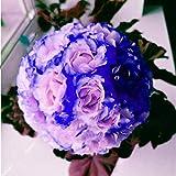 Qulista Samenhaus - 10pcs Selten Balkon-Geranie Pelargonium Blumensamen winterhart mehrjährig für Ihre Balkon- & Terrassen-Bepflanzung