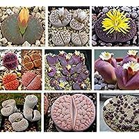 Fash Lady Semillas De Flores 100lithops Samen Pseudotruncatella Sukkulenten Rohe Stein Kaktus Samen Stängel Tetragonia... preisvergleich bei billige-tabletten.eu