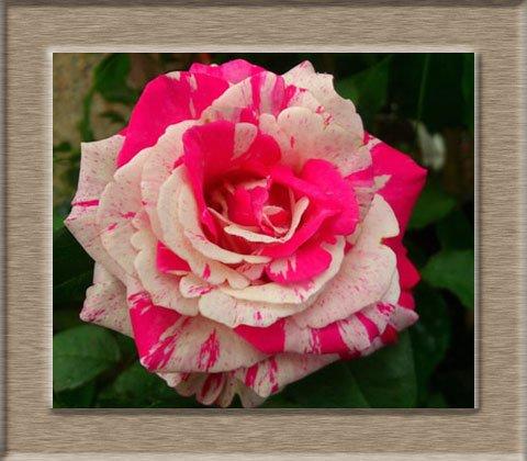 200pcs / pack Rare Pays-Bas Rainbow Rose Flower Seed Outdoor Blooming Bonsai Plante en pot d'ornement pour jardin Décor Livraison gratuite 6