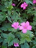 Staudenkulturen Wauschkuhn Geranium oxonianum (endressii)