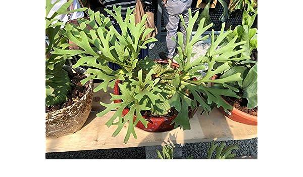 StaghornPlatycerium ridleyi 2 Pot Live Plant PP072 Secr Garden GEOPONICS