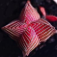 Semi, Catkoo 100 Pz Crassula Buddha's Temple Seeds Piante succulente Bonsai Home Office Decor - Red Crassula Buddha's Temple Seeds