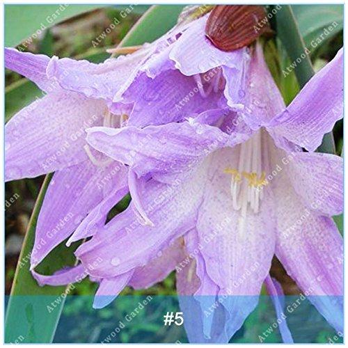 Galleria fotografica Fash Lady ZLKING 2 pz Hippeastrum Bulbi Bonsai Amaryllis Lily Bonsai Perenni Fiore Bulbo Non alto tasso di germinazione Giardino di casa: 5