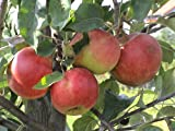 Apfel Elstar Busch im 7,5 l Topf, 60 cm Stammhöhe