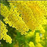 ScoutSeed 20 goldene Mimosen-Pflanzen-Akazie-Baileyana-gelber Zweig-Baum-Blumen-Pflanzensamen