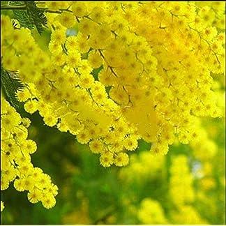 ScoutSeed 20 Plantas de mimosa dorada Acacia Baileyana Ãrbol de zarzo amarillo Flor Plantas Semillas