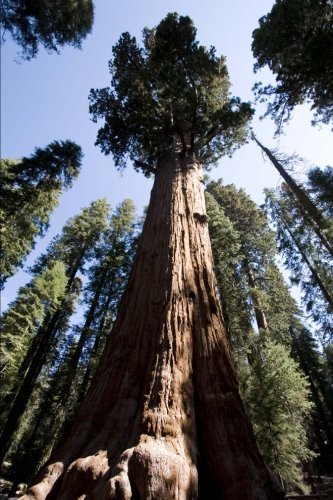 General Sherman Tree Sequoia National Park California Journal: 150 page lined notebook/diary