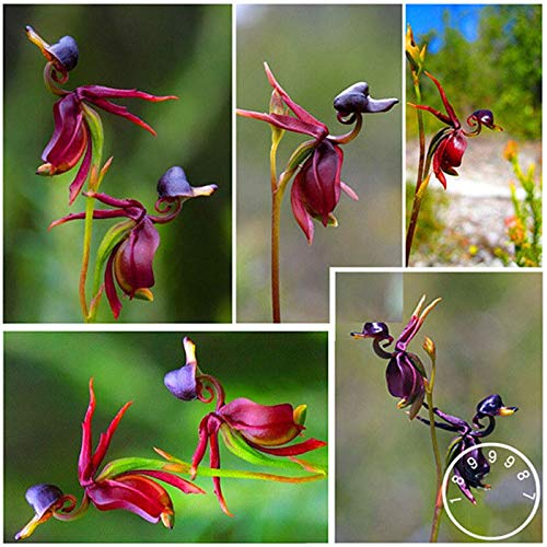 Portal Cool Flying Duck Bonsai Rare Plant Black Orchid Garden Fleurs en Pot 100 Pieces/Lot