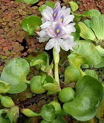 3 XXL Wasserhyazinthe Schwimmpflanze für Gartenteich von 949 bei Du und dein Garten