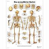 3B Scientific Lehrtafel laminiert - Das menschliche Skelett
