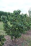 Mini-Birnbaum Pironi® Little Sweety® - 1-jähriges Bäumchen im 5 lt. Topf