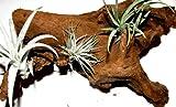 1 Wurzel bepflanzt mit 3 verschiedenen Tillandsien, Terraiendekoration