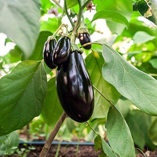 Berenjena, semillas de berenjena - Solanum melongena