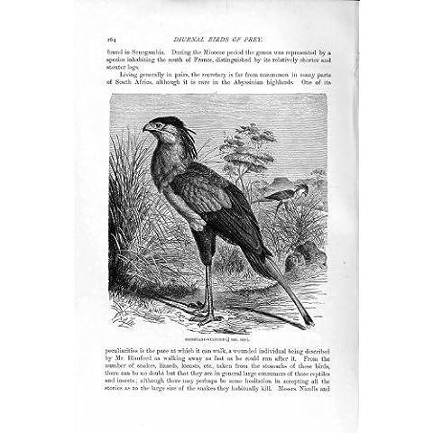 Impresión Antigua de la Secretaria 1895 de la Historia Natural Vulture Diurnal Bird