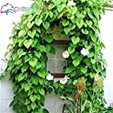 Vistaric 20 stücke seltene moonflower samen garten nacht blühen schöne blume bonsai in jarden dekoration samen topf plante
