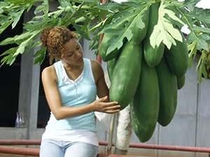 melonenbaum papaya fr chte aus dem eigenen garten samen schnellw chsig exot garten. Black Bedroom Furniture Sets. Home Design Ideas