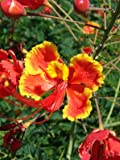 Seedeo Pfauenstrauch (Caesalpinia pulcherrima) 10 Samen