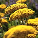 """Schafgarbe """"Parker"""" - Achillea filipendulina """"Parker"""" - gelb blühende, duftende und kübelgeeignete Staude im 11 cm Topf - frisch aus der Gärtnerei - Pflanzen-Kölle Gartenstaude"""
