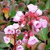 Bergenie 'Herbstblüte' (Bergenia cordifolia 'Herbstblüte') im Topf