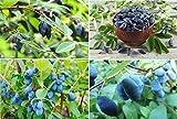 15x heckenkirsche jardín comestible frutas azul Plant comestible jardín semillas gastos Semences praliné # 346