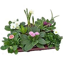 Blumen-Box, Primeln gefüllt Zwiebel rosa Mix
