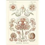 Impresión en metacrilato 80 x 110 cm: Anthomedusae plantonic medusa. de Ernst Haeckel / Fotofinder.com
