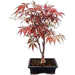 Japanischer Fächer-Ahorn, Acer palmatum, 20cm Schale