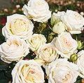 Duft-Edelrose 'Madame Anisette' -R-, ADR-Rose, A-Qualität Wurzelware von Rosen-Union auf Du und dein Garten