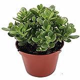 #1: Harit - The Plants Shop Jade Plant- Crassula Ovuta - Easy To Grow - 4