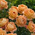 Edelrose David Austin Rose - Lady of Shalott Nostalgie winterharte Containerrose 6 Liter - Qualitätspflanze im Container von Garten Schlüter von Garten Schlüter - Du und dein Garten