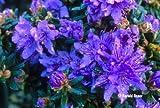 9cm Pot Dwarf Rhododendron Impeditum Blue Purple Flowers Garden Shrub Plant