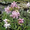 lichtnelke - Seifenkraut (Saponaria officinalis PLENA) von Lichtnelke Pflanzenversand auf Du und dein Garten