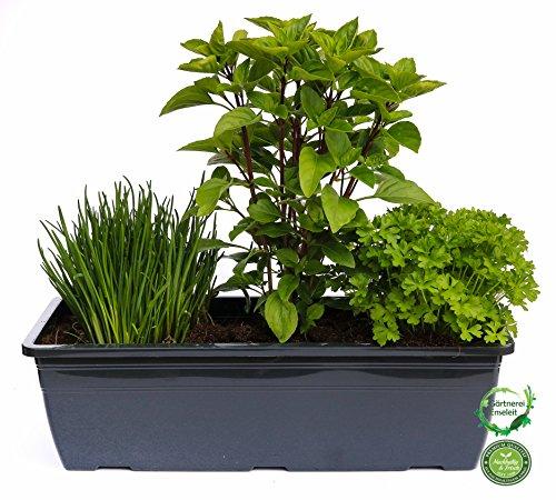 """Kräuterkasten für\""""Salate\"""" 40cm Anthrazitkasten mit je 1er Kräuter Pflanze: Petersilie, Schnittlauch & Krim Basilikum"""