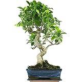 Fico, Ficus, Bonsai, 12 anni, 51cm