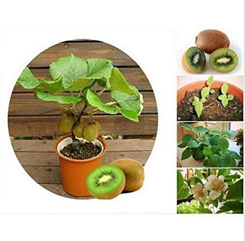 HATCHMATIC Nouveau! 20-graines-Tamarindus - Sweet-Tamarin Fruits-graines - Thaïlande