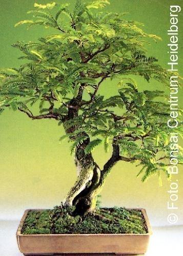 Trobica - bonsaï - tamarin (Tamarindus indica) - 4 graines