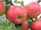 Fruchtbengel, Apfelbaum Roter Berlepsch, Malus domestica, rot, lagerfähig, angenehm weich