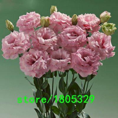 Semillas de flor de pascua