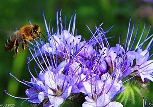 Lacy Phacelia Samen -Blau-violett, Dürre und Hitze Tolerant Flowers- tanacetifolia (100 Samen) (Lacy Phacelia Samen)